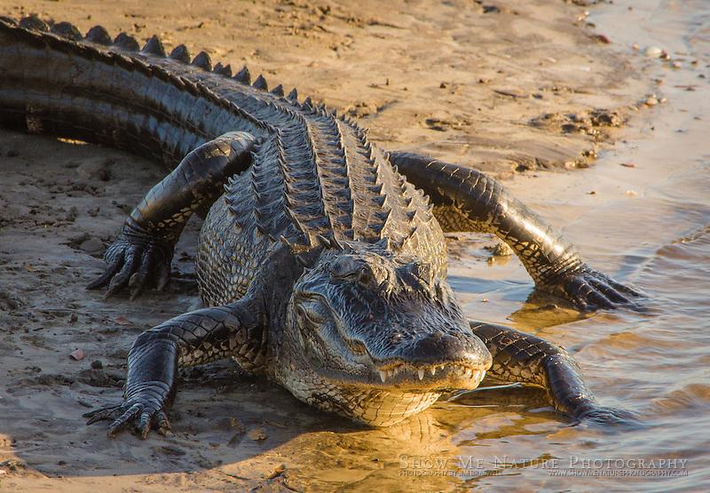 Alligator on river bank