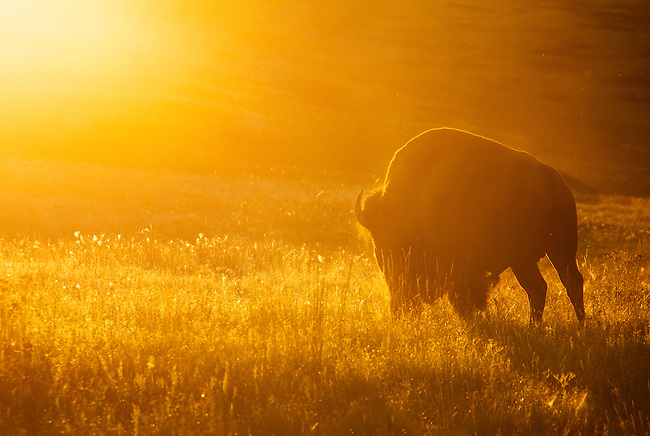 Bull bison at the National Bison Range, Montana walking into the setting sun.