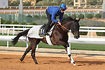 RIYADH, SA February 19 2021: REBEL'S ROMANCE (IRE) Track work from King Abddulaziz Racetrack, Riyadh, Saudi Arabia. Shamela Hanley/Eclipse Sportswire/CSM