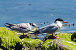 Common tern fledging (left, adult - right), Bird Island, Marion, Massachusetts