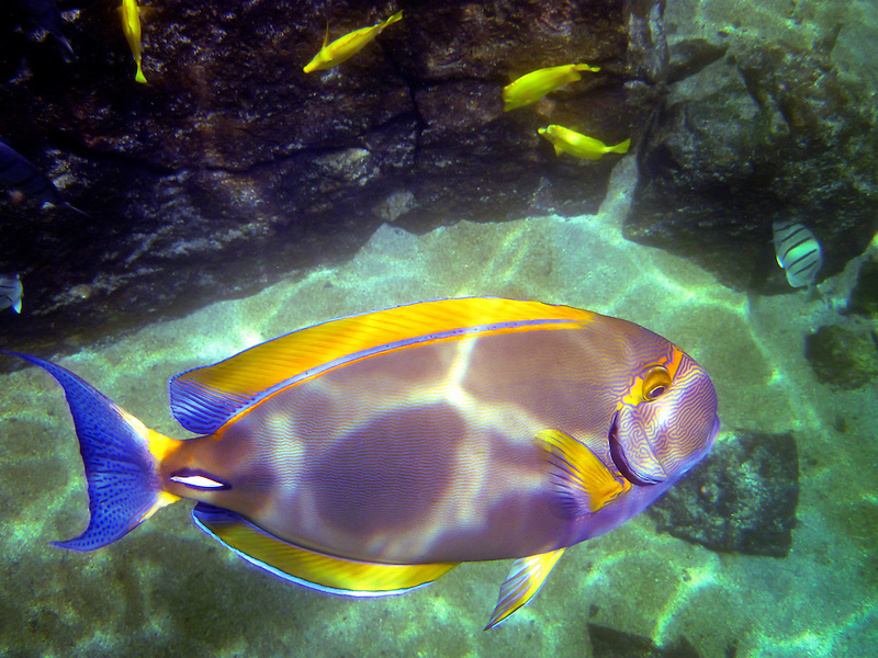 Tang tropical fish. The Big Island