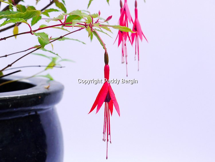 Fuchsia is a genus of flowering plants that consists mostly of shrubs or small trees. The first, Fuchsia triphylla, was discovered on the Caribbean island of Hispaniola (present day Dominican Republic and Haiti) about 1696–1697. <br /> <br /> They have four long, slender sepals and four shorter, broader petals; in many species the sepals are bright red and the petals purple (colours that attract the hummingbirds that pollinate them). <br /> <br /> Stock Photo by Paddy Bergin