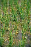 Asie/Thaïlande/Env de Chiang Mai : Plants de riz dans les rizières