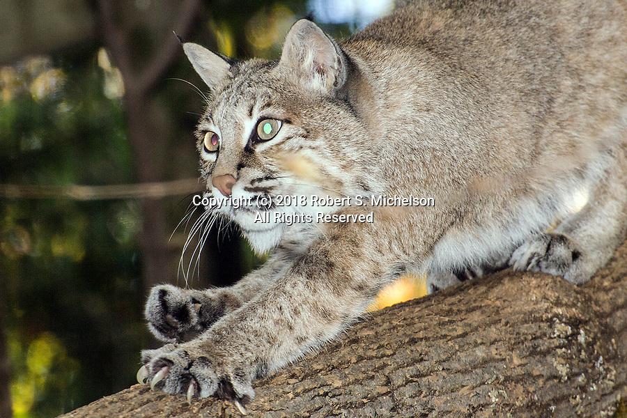 Bobcat close-up climbing down tree facing left