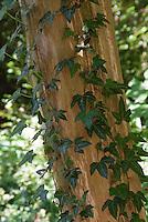 Hedera helix climbing a tree trunk