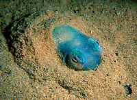 Southern Dumpling Squid, Euprymna tasmanica, This little squid showing off its fully developed light organ, Edithburgh, South Australia, Australia, Southern Ocean