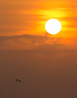 Sunset over the Pacific Ocean.  Red-lored parrots fly in the foreground.