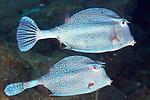 Acanthostracion polygonius, Honeycomb cowfish, Flower Garden Banks