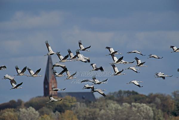 Common Crane, Grus grus, flock in flight, Ruegen, Germany, Europe