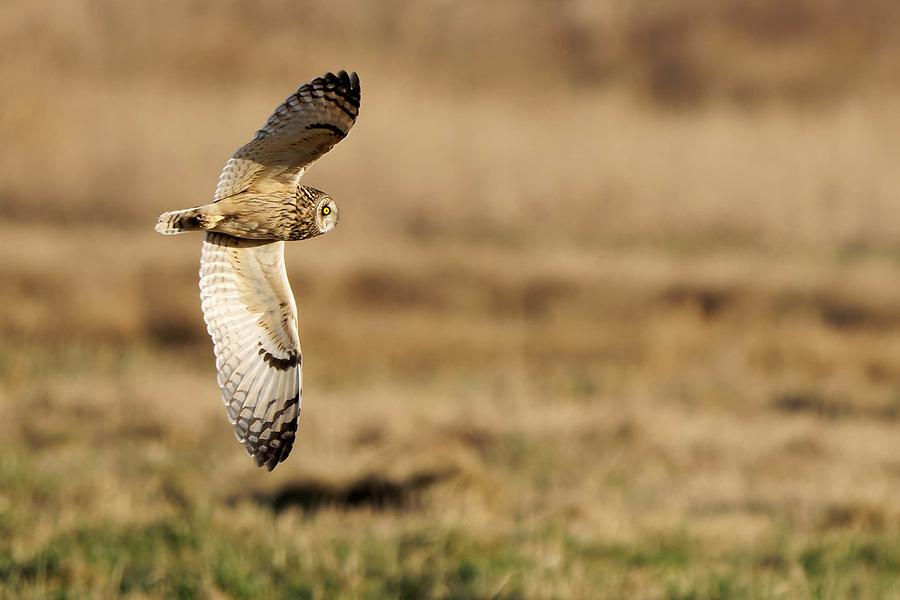 Short-eared owl (Asio flammeus) in flight hunting over grassland, Edison, Skagit County, Washington, USA