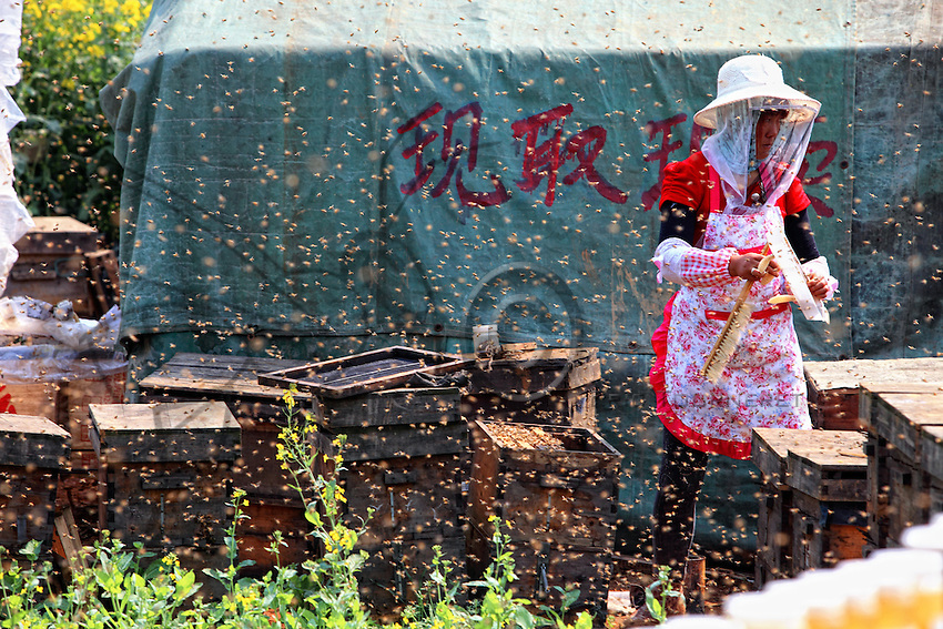 Luoping, Yunnan. Une apicultrice travaille sur ses ruches en pleine journée entourée d'une multitude en vol.///Luoping, Yunnan. A beekeeper works on her hives in the middle of the day surrounded by a multitude of bees in flight.