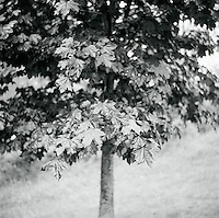 Red Maple Tree<br />