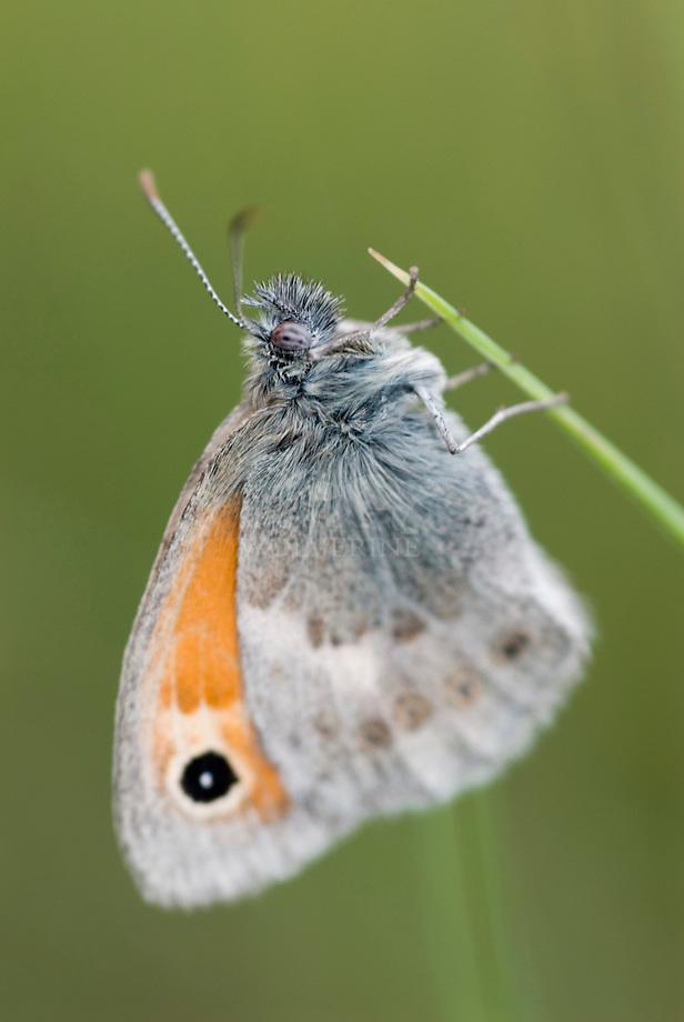 Hooibeestje (Coenonympha pamphilus)