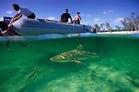 blacktip reef shark under the zodiak, Carcharhinus melanopterus, Aldabra Atoll, Natural World Heritage Site, Seychelles, Indian Ocean