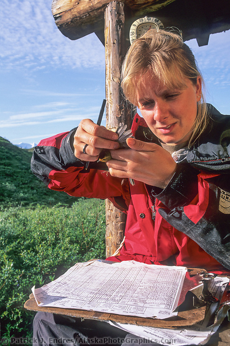 Data collection by scientists on migratory bird research, Denali National Park, Alaska