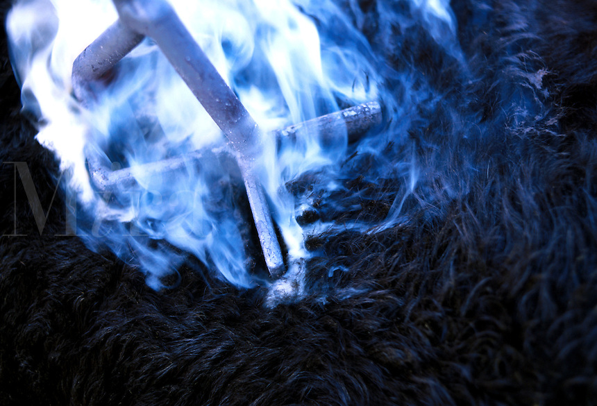 Close up of smoke rolling around a branding iron as a cow is branded.