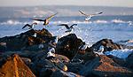 Seagulls feed at sunset in Coronado, Ca., on Sunday, Dec. 15, 2019. <br /> Photo by Cathleen Allison/Nevada Momentum