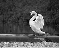 Cygnus olor<br /> <br /> Mute swan stretching on the edge of a weir.