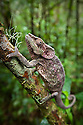 Short-horned chameleon (Calumma brevicornis) on branch, tropical rainforest, Andasibe-Mantadia National Park, Eastern Madagascar.