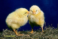 DG05-113x Domestic Chicks - Newly hatched and fluffy.
