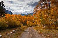 Autumn gold in a campground at Lundy Lake in the Eastern Sierras.
