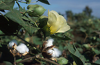 INDIA, organic cotton, Maikaal Project of Maikaal Fibres Ltd. and Remei AG, cotton plant at organic cotton farm, ripe boll formation / INDIEN, Biobaumwolle Maikaal Projekt von Maikaal Fibres Ltd. und Remei AG, Baumwollpflanze mit reifen Baumwollkapseln