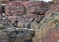 Wild wolverine (Gulo gulo) walking on rock ledge in high mountain habitat.  Northern U.S. Rocky Mountains/Glacier National Park, MT.  October.