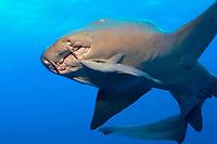 nurse shark, Ginglymostoma cirratum, with remoras, Echeneis species, Bahamas, Caribbean Sea, Atlantic Ocean ( do )