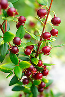 Ugni molinae Also known as Little Myrtle , Tazziberry or New Zealand cranberry. Chilean superfood anti oxidant