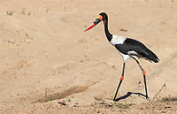 Thought to be the tallest stork in the world, the Saddle-billed is also one of my favorite African birds. The male sports dark eyes, the female bright yellow eyes.