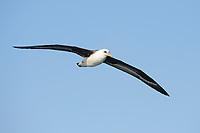 Laysan Albatross (Phoebastria immutabilis) soaring. Gray's Harbor County, Washington. October.