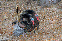 Male Wild Turkeys (Meleagris gallopavo) strutting--spring mating display.  Western U.S.