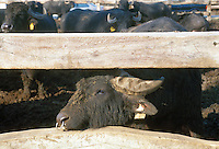 - breeding of buffalos....- allevamento di bufali