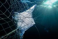 mobula or devil ray, Mobula sp., caught in gill net, Huatabampo, Mexico, Sea of Cortez, Pacific Ocean