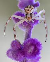 Crab Spider (Misumena vatia) and native Mexican Bush Sage flower.