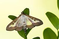 Buchsbaumzünsler, Buchsbaum-Zünsler,  Buchsbaum, Buchs, Cydalima perspectalis, Phacellura advenalis, Neoglyphodes perspectalis, box tree moth, La Pyrale du buis. Crambidae, Zünsler, Crambids