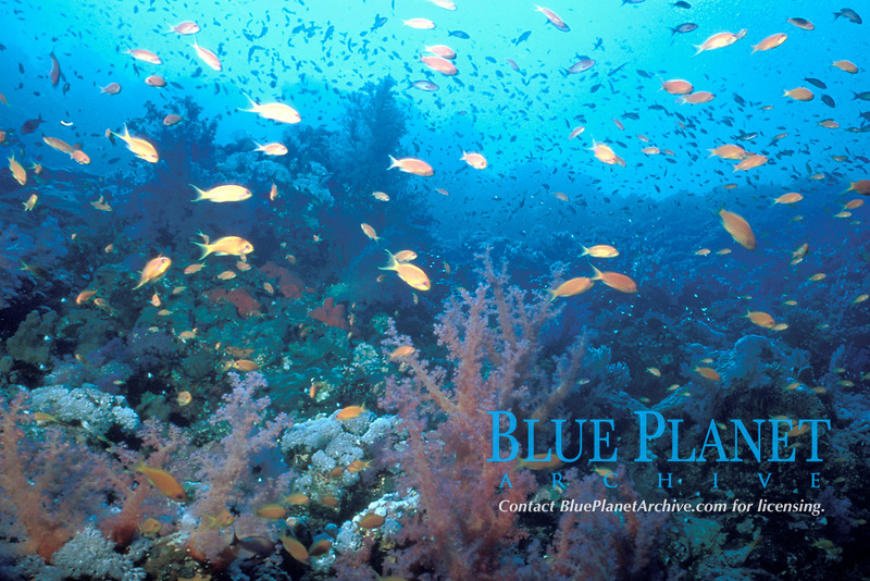 reef scene with anthias, Pseudanthias squamippinnis, Red Sea