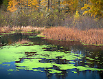 Vilas County, Wisconsin:<br /> Quiet pond with duckweek and autumn larch forest. Northern Highland-American Legion State Forest