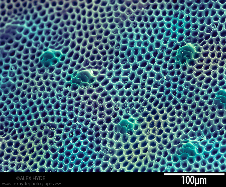 Irridecent Carapace of Green Tiger Beetle (Cicindela campestris) speciman. False colour scanning electron micrograph, x265 magnification when printed 10cm across.