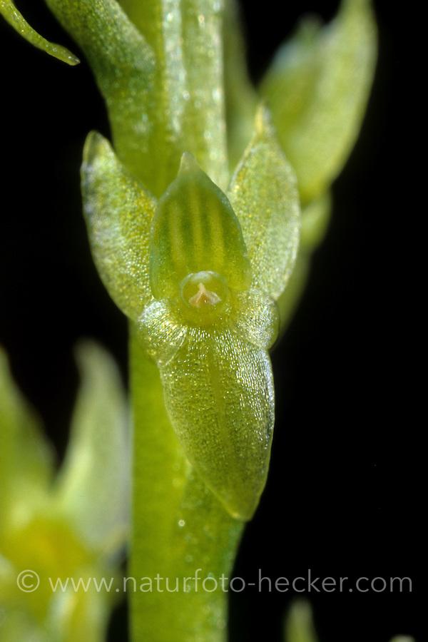 Sumpf-Weichorchis, Hammarbya paludosa, Malaxis paludosa, bog orchid, bog adder's-mouth, bog adder's-mouth orchid, Le Malaxis des marais, Malaxis des tourbières, Malaxis à deux feuilles