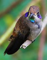 Brown violet-ear