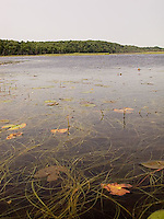 Lily pads on lake surface<br />