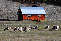 Big Horn Sheep at Big Horn Project in British Columbia