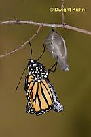 MO04-542z    Monarch emerging from chrysalis,  Danaus plexipuss