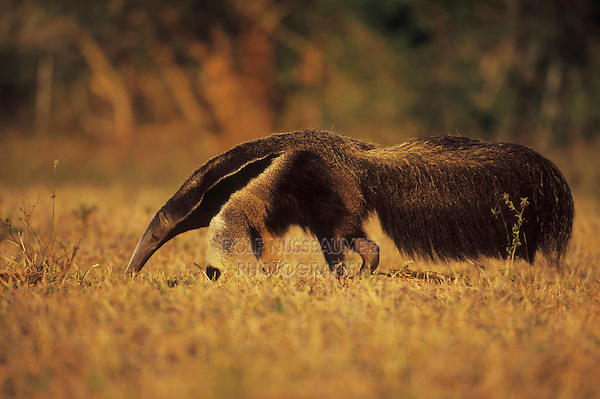 Giant Anteater, (Myrmecophaga tridactyla), adult walking, Pantanal, Brazil, South America