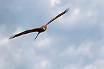 Yellow-billed Kite (Milvus aegyptius) flying, Kafue National Park, Zambia