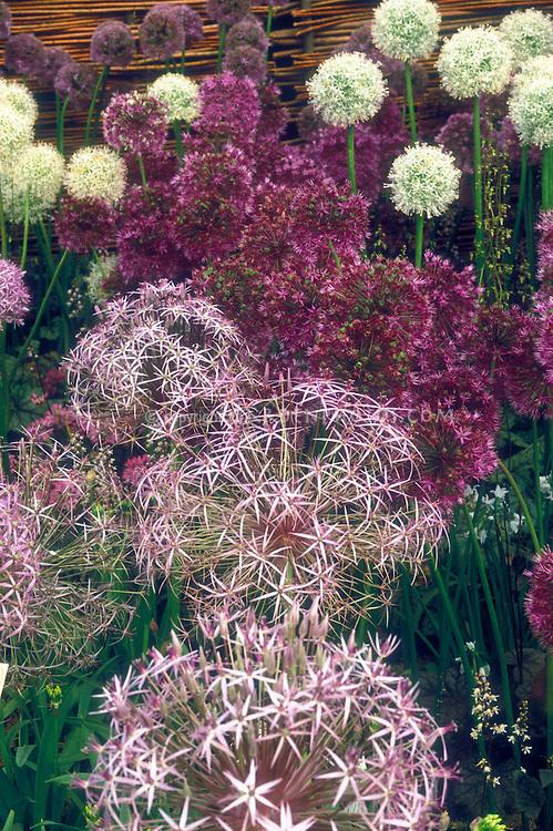 Four different kinds of Allium ornamental onion bulbs: Allium christophii (front), A. x hollandicum 'Purple Sensation' & 'Album'