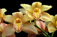 Pristine blossoms of cymbidium orchid on their smooth green stems