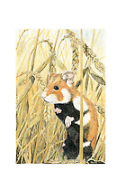 Hamster (Cricetus cricetus)