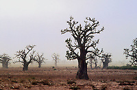 - landscape with baobab trees ....- paesaggio con alberi baobab